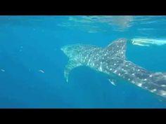 Mi Extraordinaria Aventura con el Tiburón Ballena en Isla Mujeres -