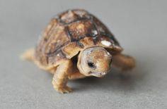 baby egyptian tortoise