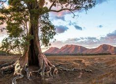 Wilpena, Flinders Ranges Magnificent tree #personalized_health #whichoneareyou