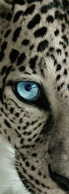 Mesmerizing stare...Snow Leopard...great shot!!