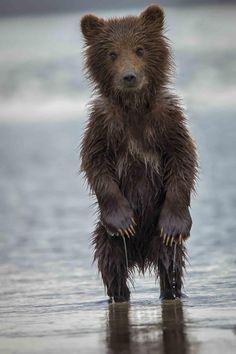 """Baby Bear Alaska"" ~ Photo by Phil Frigon ~ Wet Baby Bear In Alaska"