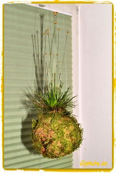 kokedama gras bonsai z chten tipps zum aufh ngen kokedama pinterest bonsai pflanzen. Black Bedroom Furniture Sets. Home Design Ideas