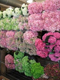 Bunches of pink and green Hydrangea