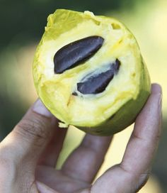 Pawpaws, the native Kentucky fruit, at the Kentucky State University Research Farm | kentuckymonthly.com