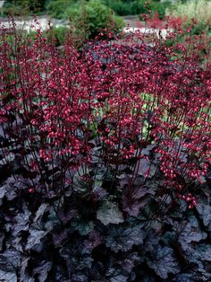 2012 Year of the Heuchera: 'Fantasy Swirling' Coral bells/Alum root. Garden Shrubs, Shade Garden, Garden Plants, Coral Bells Heuchera, Bell Gardens, Gothic Garden, Black Garden, Woodland Garden, Shade Plants