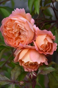 The Teddington Gardener – Lady Emma Hamilton