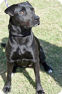 Beautiful Angie is a Labrador Retriever/Shar Pei Mix who can't wait for you to take her home! She has a LOW FALL ADOPTION FEE!!