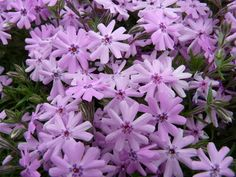 Phlox subulata 'Fort Hill' Moss Pink; Creeping Phlox It is called Moss Phlox because when not in bloom, the plants appear like Moss from a distance. The profuse flowers smother the plants during mid spring.