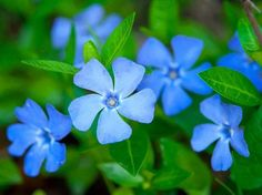 Periwinkle is a medicinal flower and herb , antibacterial, analgesic, vertigo, headaches, glaucoma, and strokes. blood thinning, and memory-enhancing short-term memory loss. anti-cancer  anti-inflammatory properties and rheumatoid arthritis, fibromyalgia, psoriasis, and atherosclerosis. Periwinkle tea is  for easing anxiety/nervousness, reducing heavy menstruation, improving memory, and for reducing blood pressure.
