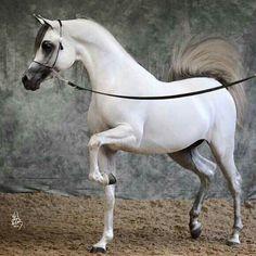 Arabian Horse حصان عربى