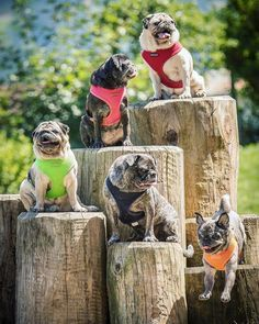 Pin On Pugs And Luvs
