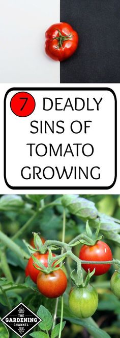 Growing Tomatoes 7 deadly sins of tomato growing. Be sure not to make these mistakes when you grow tomatoes in your vegetable garden and your plants will be healthier and more fruitful. Growing Tomatoes Indoors, Tips For Growing Tomatoes, Growing Tomato Plants, Growing Tomatoes In Containers, How To Grow Tomatoes, Growing Cherry Tomatoes, When To Pick Tomatoes, Growing Veggies, Veg Garden