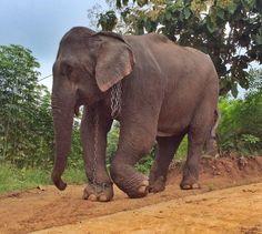 Abused Elephant Weeps As She Begins Her New Life Freed From Chains