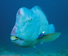 Believe it or not, the baby bumphead parrotfish is a beautiful creature. But like an ugly ducking in reverse, it grows into this toothsome wonder. They have been hunted relentlessly and this once abundant fish is now virtually extinct in Guam, the Marshall Islands, parts of Fiji andEast Africa