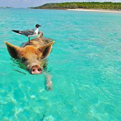 Pig Beach, The Bahamas and 40 islands to visit before you die. Pig Beach Bahamas, Exuma Bahamas, Animals And Pets, Cute Animals, Wild Animals, Funny Animals, Places To Travel, Places To Go, Pig Island