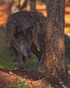 Stalking....the wolf is a master at it. It's NOT an evil act, but a matter of life and death in the wild.