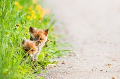 Babies foxes by Etienne Francey on 500px