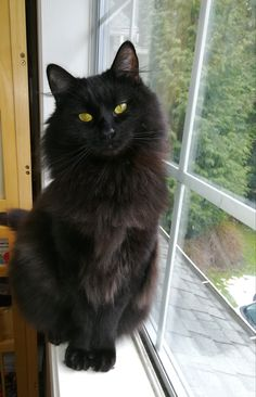 Such a beautiful long haired black cat. Such a beautiful long haired black cat. Pretty Cats, Beautiful Cats, Animals Beautiful, Cute Animals, I Love Cats, Crazy Cats, Cool Cats, Long Haired Cats, Matou