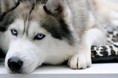 ハスキーがドッグパークではなく動物病院に向かっている事に気付いた瞬間wwwwwwwwwwwwwwwww