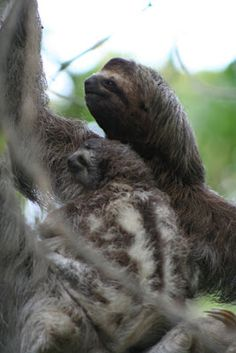 3 toed sloth with baby, Costa Rica
