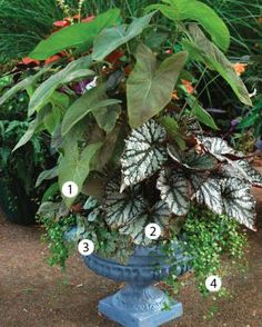 Designing Great Containers | Fine Gardening  1. 'Excalibur' caladium (Caladium bicolor 'Excalibur', USDA Hardiness Zones 10–11) 2. 'Fairy' Rex begonia (Begonia 'Fairy', not hardy below Zone 11) 3. 'Mint Frost' heuchera (Heuchera 'Mint Frost', Zones 4–9) 4. Creeping wire vine (Muehlenbeckia axillaris, Zones 8–10)