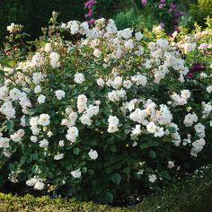 Penelope - Hybrid Musk Roses - Shrub Roses - Type