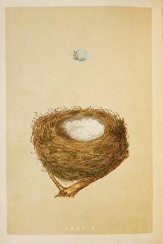Redpoll Nest & Eggs Reverend Morris 1800s by PaperPopinjay on Etsy
