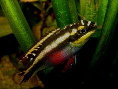 De Pelvicachromis pulcher of beter bekend als de Kersenbuik Cichlide is een soort die zeer geschikt is voor beginners. Ze stellen weinig eisen aan de waterwaardes en kunnen in de meeste gezelschapsbakken gehouden worden. De mannen worden ongeveer 10 centimeter groot en de vrouwen doorgaans een centimeter of 6 a 7. De minimummaat voor het aquarium is wel 80 centimeter omdat de kersenbuik net als de meeste cichliden wat aggressief kan zijn in de periode dat ze jongen hebben.