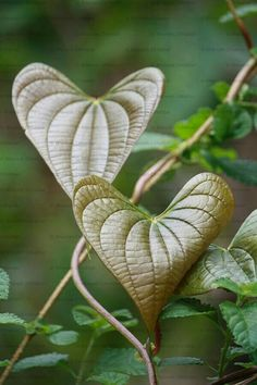 #heartshapeleaves