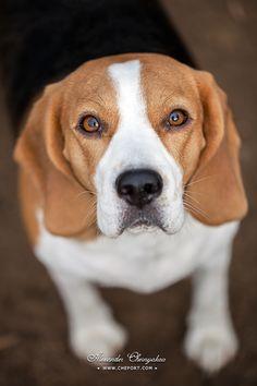 Portrait of Beagle