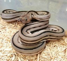 How about a racing retic lol in super sport aka super dwarf haha anery supertiger Prehistoric Pets, Reticulated Python, Pet Snake, Super Sport, Dwarf, Snakes, Reptiles, Butterflies, Haha