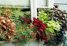Window boxes; The rich shades of coleus make a statement next to spots of bright color from blooms. From left: coleus 'Stained Glassworks Copper', Lantana 'Dallas Red', beargrass, coleus 'True Red', coleus 'Stained Glassworks Big Blond' and licorice vine.