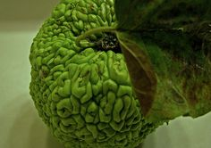 is this one of those custard apple things?