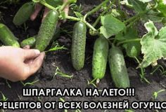 Ako zvýšiť úrodu uhoriek v dvoch krokoch! Growing Tomatoes, Growing Vegetables, Fruits And Vegetables, Summer House Garden, Home And Garden, Coaster Crafts, Greenhouse Gardening, Small Farm, Diet And Nutrition