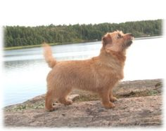 Norfolk Terrier :)