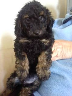 23 Best I Love Red Toy Poodle Puppies Images Poodle Toy