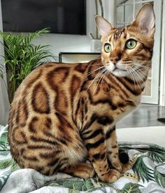I Love Cats, Cool Cats, Bengal Cat Price, Toyger Kitten, Kittens Cutest, Cats And Kittens, Asian Leopard Cat, Cute Animal Videos, Cat Photography