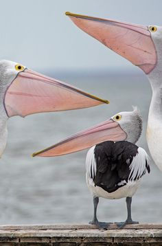 I do love pelicans! Pretty Birds, Beautiful Birds, Animals Beautiful, Nature Animals, Animals And Pets, Cute Animals, Wale, Tier Fotos, All Gods Creatures