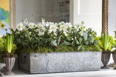Fresh Christmas hellebores in an old zinc box on Butter's mantel piece, surrounded by white hyacinths in little metal goblets. Arranged by BUTTER WAKEFIELD