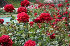 Rose Garden Chandigarh Hd Images Chandigarh In 2019 Rose Amazing Gardens, Beautiful Gardens, Comment Planter Des Roses, Vietnam Voyage, Rose Care, Rose Varieties, Planting Roses, Rose Bush, Secret Gardens
