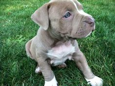 My life will not be complete until I own my very own blue brindle pitbull puppy!!