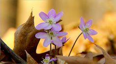 Photographing The Beautiful Iowa Woodland Wildflowers