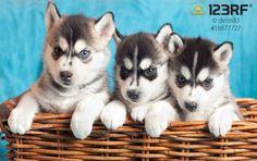 3 little Siberian Husky! #123rf #dogs #SiberianHusky