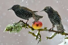 Starlings (Sturnus Vulgaris), Adults Perched on Branch in Winter Feeding on Apple Photographic Print by Michel Poinsignon at Art.com