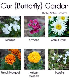 Flowers that attract Butterflies!