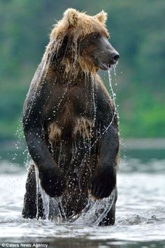For many of the tasty fish its a losing battle against the claws and teeth of the huge bears Bear Photos, Bear Pictures, Animal Pictures, Large Animals, Animals And Pets, Wild Animals, Carosel Horse, Bear Fishing, Bear Cubs