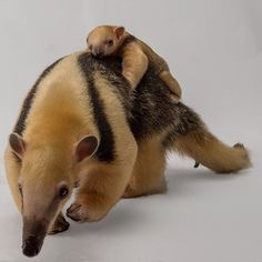 Did you hear what the stork dropped off to our tamandua?! A New Years baby!!! Please stop by and congratulate dad while mom and baby rest off display. ❤
