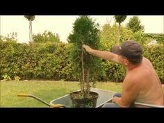 OGRODOWE BONSAI - Jak ukształtować tuję w atrakcyjne drzewko - cz 3 - YouTube