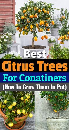 about 5 best citrus trees for containers as Growing Citrus in Pots is not Learn about 5 best citrus trees for containers as Growing Citrus in Pots is not . Learn about 5 best citrus trees for containers as Growing Citrus in Pots is not . Garden Types, Veg Garden, Fruit Garden, Edible Garden, Garden Beds, Garden Plants, Porch Garden, Container Vegetable Gardening, Citrus Garden