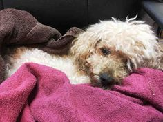 Staten Island CHURRO – A1092820 MALE, BROWN, POODLE MIN MIX, 7 yrs STRAY – STRAY WAIT, NO HOLD Reason STRAY Intake condition EXAM REQ Intake Date 10/08/2016, From NY 10306, DueOut Date 10/11/2016,